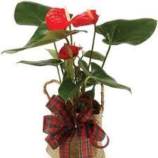 Indoor Flower Plants 16 Best Indoor House Plants Images On Pinterest Flowering Plants