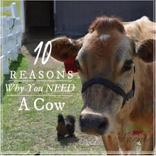 10 reasons why you need a cow livinlovinfarmin