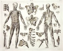 The Human Anatomy Muscles Figure Drawing The Human Skeleton And Muscles Johann Georg Heck