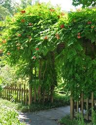 19 best climbing plants for pergolas and trellises arbors