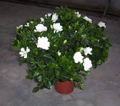 plants u0026 flowers cape jasmine