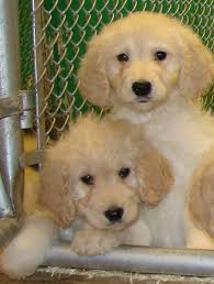 doodle for adoption indiana goldendoodle puppies for sale