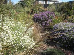 new england native plants t h e d e e p m i d d l e nebraska wildflowers day 7 asters