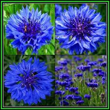 bachelor buttons annuals centaurea cyanus blue boy 125 seed pack