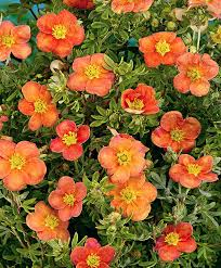 buy ornamental shrubs now potentilla hopley s orange bakker