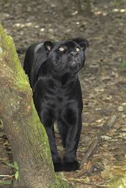 all black jaguar 282 best the night hunter images on pinterest black jaguar