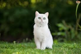why are some white cats deaf pets4homes
