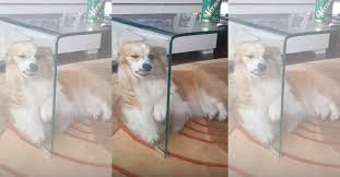 Funny Coffee Tables - video watch as kimchie the funny corgi puppy gets completely