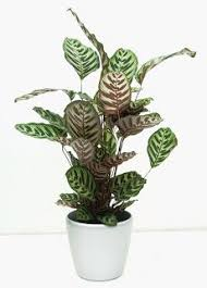 Best Plant For Indoor Low Light Patterned Leaves Make This Plant A Great Decoration For Any Room
