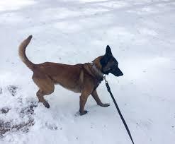 belgian sheepdog gifts mbta transit police need help naming this belgian puppy