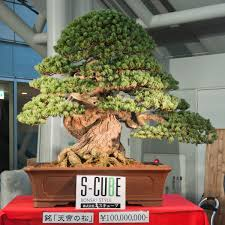 expensive bonsai images search