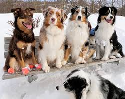 australian shepherd joint problems about the alaska australian shepherd club