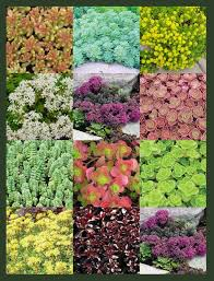 sedum collections succulent rock garden plants ground covers