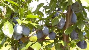 free picture immature fruits organically grown blue plums fruits