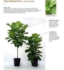 buy real fiddle leaf fig online fiddle leaf fig tree for sale