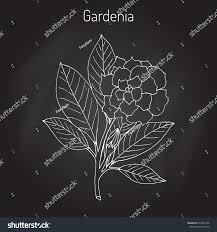 gardenia jasminoides gardenia cape jasmine cape stock vector