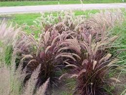 17 top ornamental grasses grass grasses and seeds