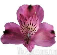 Alstroemeria Alstroemeria Flower