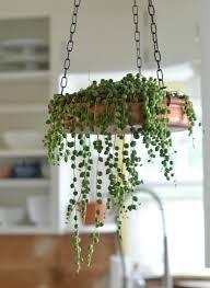 indoor hanging plants gardening guide