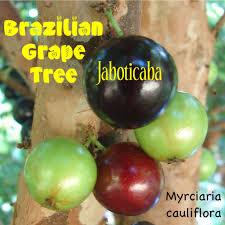 native brazilian plants polynesian produce stand jaboticaba brazilian grape rare fruit