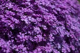 fiori viola cerca immagini fiori viola