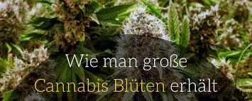 cannabis im garten cannabis growguide hanfsamen shop growshop irierebel