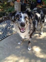 australian shepherd san diego 271 best need someones help now images on pinterest animal