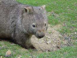 Wombat Memes - common wombat facts course haired wombats australian marsupials