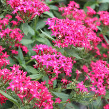 Pentas Flower Long Blooming Florida Perennials Costa Farms