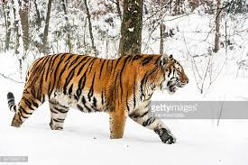 siberian tiger stock photos and pictures getty images