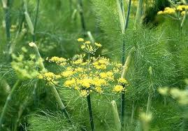 Teh Adas adas ciri ciri tanaman adas serta khasiat dan manfaatnya situs