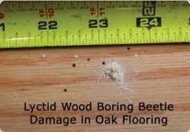 Powder Post Beetles In Hardwood Floors - wood boring beetles in pacific northwest structures