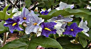 Tree With Purple Flowers Tropical Potato Plant Potato Tree Potato Flowers Trees With