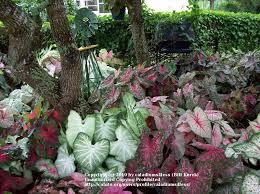 caladiums for your landscape cubit who u0027s planting caladiums this