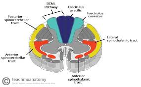 Pathway Of Light Through The Eye The Ascending Tracts Dcml Anterolateral Teachmeanatomy