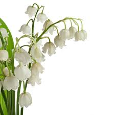 Lily Of The Valley Flower Grower Direct Flower Varieties Lily Of The Valley