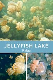 best 25 freshwater jellyfish ideas on pinterest jellyfish