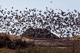 Dove Migration Map Argentina Dove Hunt Cordoba Dove Hunting Argentina Dove