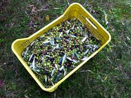 cassette per raccolta olive la raccolta delle olive brunobarbieri eu