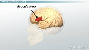 the amygdala definition role u0026 function video u0026 lesson
