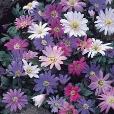 buy anemone blanda mixed bulbs j parkers dutch bulbs
