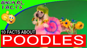 10 boxer dog facts miniature schnauzer dogs 101 miniatureschnauzer dog u2013 animal facts