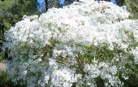 flowering and ornamental tropical trees pascuita tree flowering