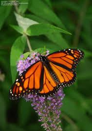 got milkweed attracting monarch butterflies to your garden