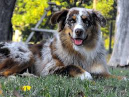 australian shepherd male names bdh aussies australian shepherds
