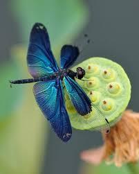 colours purplish blue shiny dragonfly wings get