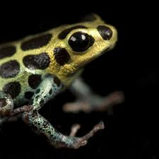 poison dart frogs national geographic