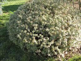 arbuste feuillage pourpre persistant roses du jardin chêneland sous le soleil d u0027hiver