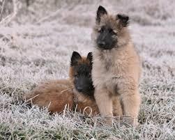 belgian sheepdog coat 11 best malinois belgian sheepdog short coat variant images on