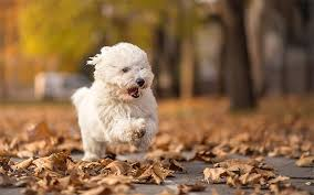 Living With A Blind Dog Coton De Tulear Dog Breed Information Pictures Characteristics